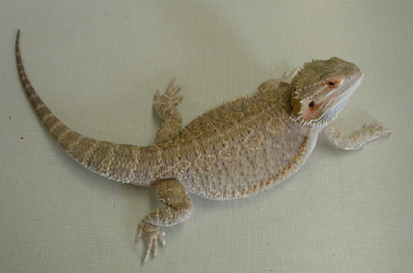 bearded_dragons-diseases-1