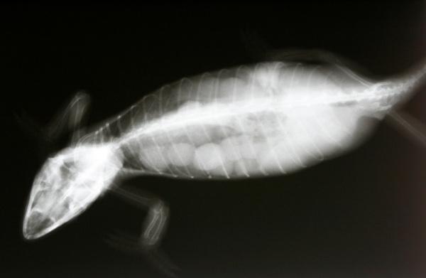 reptiles_-_dystocia-1