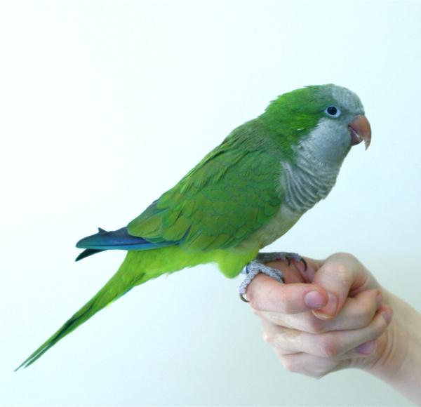 quaker_or_monk_parakeets_-_feeding-1
