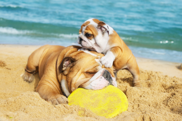 dogs_-_bulldogs_beach_sand_mom_puppy_frisbee