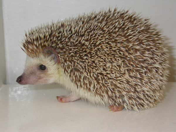 Pet Hedgehog Toys