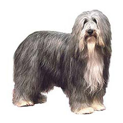 Photo of Bearded Collie