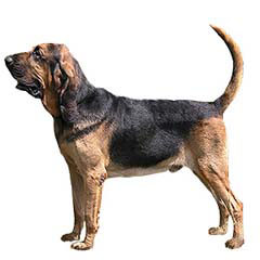 Photo of Bloodhound