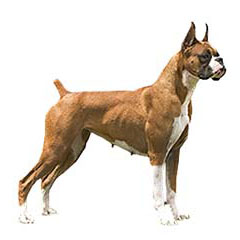 Photo of Boxer