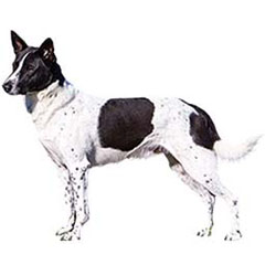 Photo of Canaan Dog
