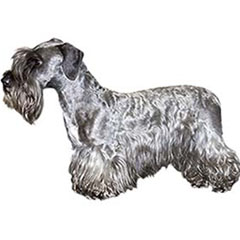 Photo of Cesky Terrier