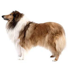 Photo of Collie