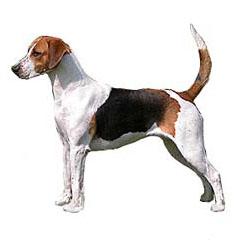 Photo of English Foxhound