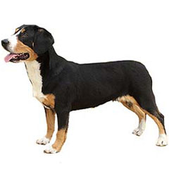 Photo of Entlebucher Mountain Dog