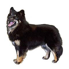 Photo of Finnish Lapphund