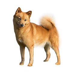 Photo of Finnish Spitz