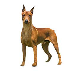 Photo of German Pinscher
