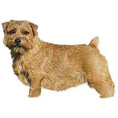 Photo of Norfolk Terrier