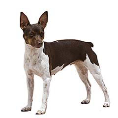 Photo of Rat Terrier