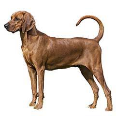 Photo of Redbone Coonhound