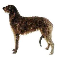 Photo of Scottish Deerhound