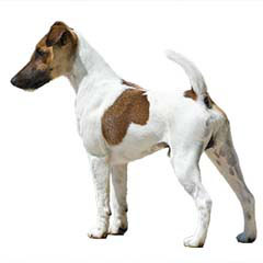 Photo of Smooth Fox Terrier
