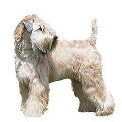 Photo of Soft Coated Wheaten Terrier