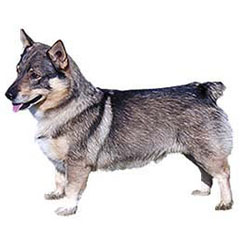 Photo of Swedish Vallhund