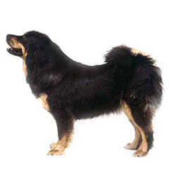 Photo of Tibetan Mastiff