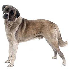 Photo of Anatolian Shepherd
