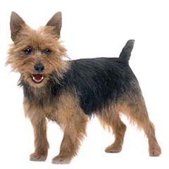 Photo of Australian Terrier