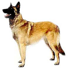 Photo of Belgian Malinois
