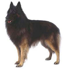 Photo of Belgian Tervuren
