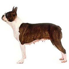 Photo of Boston Terrier