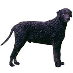Photo of Curly-Coated Retriever