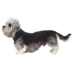 Photo of Dandie Dinmont Terrier