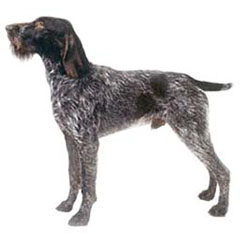 Photo of German Wirehaired Pointer