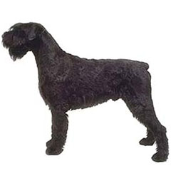 Photo of Giant Schnauzer