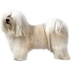 Photo of Havanese