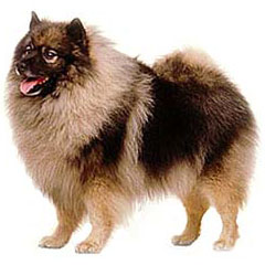 Photo of Keeshond