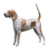 Photo of American English Coonhound