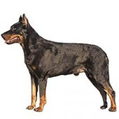 Photo of Beauceron