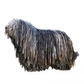Photo of Bergamasco