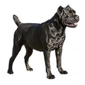 Photo of Cane Corso