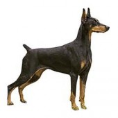 Photo of Doberman Pinscher
