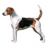 Photo of English Foxhound