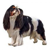 Photo of English Toy Spaniel