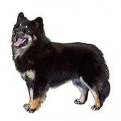 Photo of Finnish Lapphund