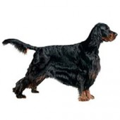 Photo of Gordon Setter