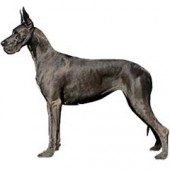 Photo of Great Dane
