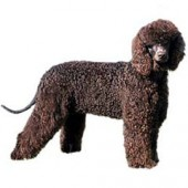 Photo of Irish Water Spaniel