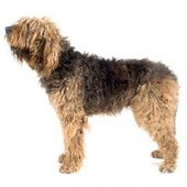 Photo of Otterhound