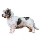 Photo of Petit Basset Griffon Vendeen