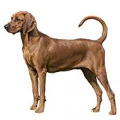 Photo of Redbone Coonhound
