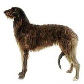 Photo of Scottish Deerhound